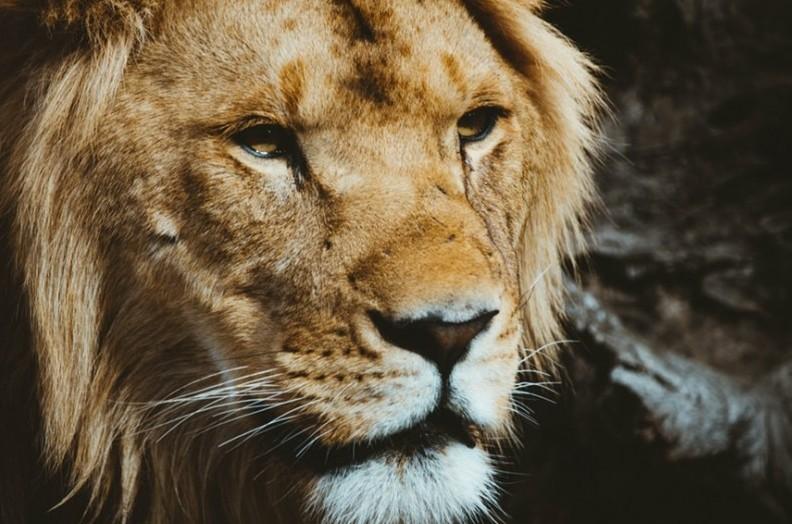 How To Strength Training Lion
